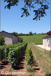 Vines in Quintaine, Viré-Clessé in Burgundy.