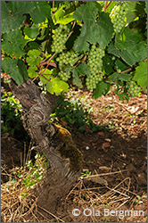 Aligoté vine at Domaine Michel Gay in Chorey-lès-Beaune.